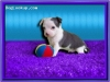 Rush Kennel Puppies - Chihuahua puppy