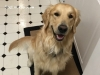 Doak - Golden Retriever stud dog