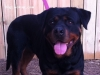 Female - Rottweiler adult dog