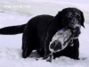 Dakota's Black Magic in French Creek - Labrador Retriever stud dog
