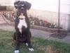 Black Boxer Stud - Bentley - Boxer stud dog