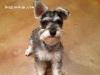 Cooper - Miniature Schnauzer stud dog