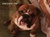 Tiger The Terror - English Bulldog stud dog