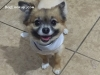 Foxy The long-haired Chihuahua - Chihuahua stud dog