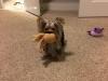 Rasta - Yorkshire Terrier stud dog