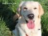 Winchester Copperpot - Golden Retriever stud dog