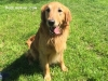 Ace - Golden Retriever stud dog