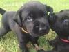 Texas Lab Puppies - Labrador Retriever puppy