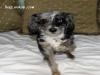 Jersey - Miniature Aussiedoodle stud dog