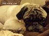 Nickel  - Pug stud dog