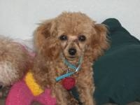 Spark of Love - Poodle Stud Dog