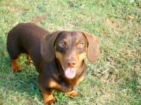 Butterscotch - Miniature Dachshund Stud Dog
