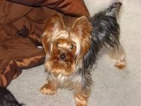 Yorkshire terrier to stud