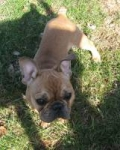 Simon - French Bulldog Stud Dog