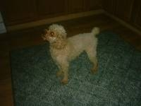 pierre - Toy Poodle Stud Dog