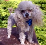 monte - Toy Poodle Stud Dog