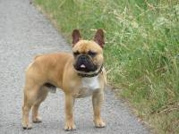 Barney - French Bulldog Stud Dog