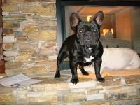 Bruno - French Bulldog Stud Dog