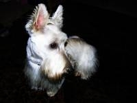 macgregor - Scottish Terrier Stud Dog