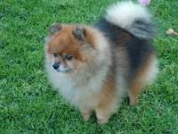 raney - Pomeranian Stud Dog