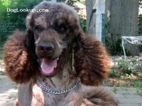 Hunter's Dreamcatcher - Poodle Stud Dog