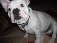 Capone - French Bulldog Stud Dog